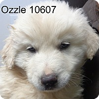 Adopt A Pet :: Ozzle - baltimore, MD