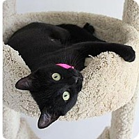 Adopt A Pet :: Blackberry/great with cats - Bryn Mawr, PA