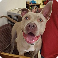 American Pit Bull Terrier Mix Dog for adoption in Windsor, Virginia - Brutus
