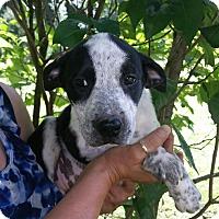 Adopt A Pet :: Scarlett - Medora, IN