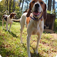 Treeing Walker Coonhound Mix Dog for adoption in Washington, Pennsylvania - Brock