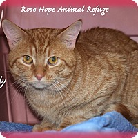 Domestic Shorthair Cat for adoption in Waterbury, Connecticut - Cody