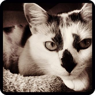 American Shorthair Cat for adoption in Baltimore, Maryland - Penny