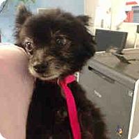 Pomeranian Mix Dog for adoption in San Bernardino, California - URGENT ON 10/12 San Bernardino