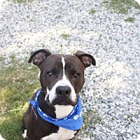 Boxer/Pit Bull Terrier Mix Dog for adoption in Greensboro, North Carolina - Joker