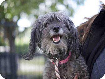 Poodle (Miniature) Dog for adoption in Long Beach, California - *GLINDA