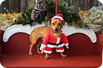 Dachshund/Miniature Pinscher Mix Dog for adoption in Auburn, California - Tigger