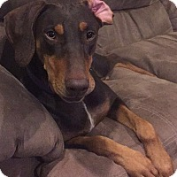 Doberman Pinscher Dog for adoption in Minneapolis, Minnesota - Izzie