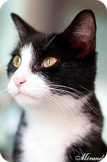 Domestic Shorthair Cat for adoption in Manahawkin, New Jersey - Miranda