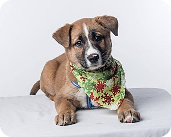 St. Bernard/Labrador Retriever Mix Puppy for adoption in Pitt Meadows, British Columbia - Harriet