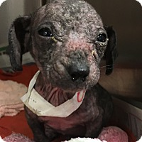 Adopt A Pet :: Candy - Billerica, MA