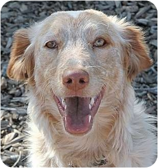 Brittany/Australian Shepherd Mix Dog for adoption in Phoenix, Arizona - Ginger