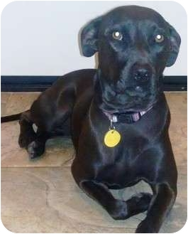 Labrador Retriever/Whippet Mix Dog for adoption in Gilbert, Arizona - SASHA