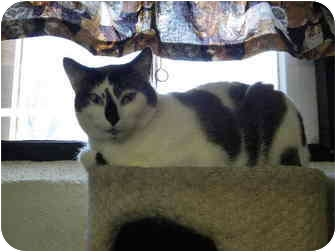 Snowshoe Cat for adoption in Bartlett, Illinois - Kenny