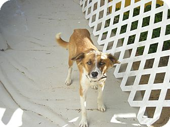 Collie Mix Dog for adoption in Vancouver, British Columbia - Clementine - Adoption Pending