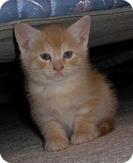Domestic Shorthair Kitten for adoption in Reston, Virginia - Mandarin