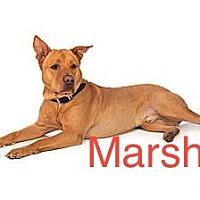 Adopt A Pet :: Marshall - Scottsdale, AZ