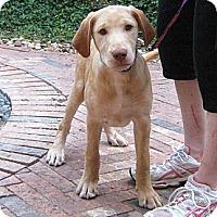 Adopt A Pet :: Gus - Spring, TX