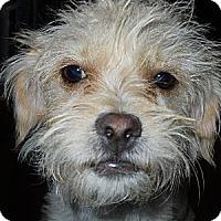 Adopt A Pet :: Maggie - dewey, AZ