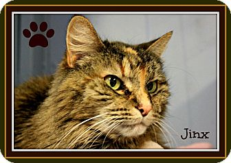 Calico Cat for adoption in New Richmond,, Wisconsin - Jinx - Adoption Fee Waived