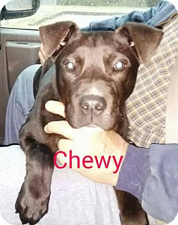 Labrador Retriever/American Pit Bull Terrier Mix Puppy for adoption in Trenton, New Jersey - Chewy