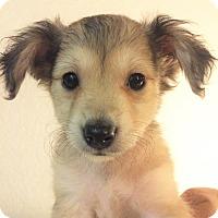 Adopt A Pet :: Kenickie-Bryanna Pup - Encino, CA