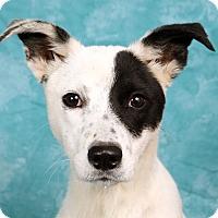 Adopt A Pet :: Smitty Rat Terrier Feist - St. Louis, MO