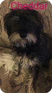 Schnauzer (Miniature) Dog for adoption in Nixa, Missouri - Cheddar #897