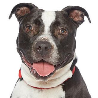 Pit Bull Terrier Mix Dog for adoption in Los Angeles, California - Bentley