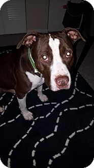 American Pit Bull Terrier Mix Dog for adoption in Warren, Michigan - Romeo at Healthy Paws