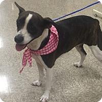 Adopt A Pet :: Astro - Las Vegas, NV