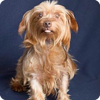 Yorkie, Yorkshire Terrier Dog for adoption in Carrollton, Texas - Bain