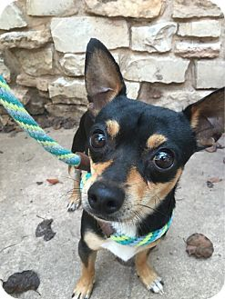 Chihuahua/Terrier (Unknown Type, Small) Mix Dog for adoption in Verona, New Jersey - Andy: Adoption Pending