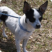 Jack Russell Terrier Mix Dog for adoption in Crawfordville, Florida - Silas