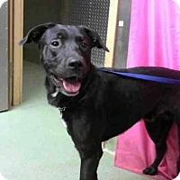 Labrador Retriever Mix Dog for adoption in Seattle, Washington - Duff