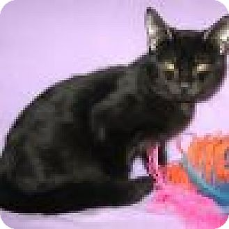 Domestic Shorthair Cat for adoption in Powell, Ohio - Arabus