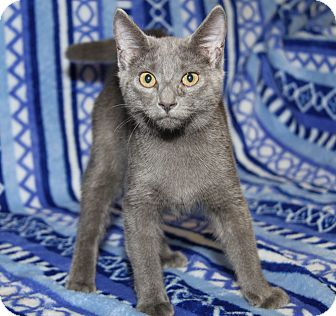 Domestic Shorthair Cat for adoption in Marietta, Ohio - Lightning (Purrty Girl's Kit)