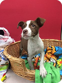 Pit Bull Terrier Mix Dog for adoption in Decatur, Alabama - Fiona