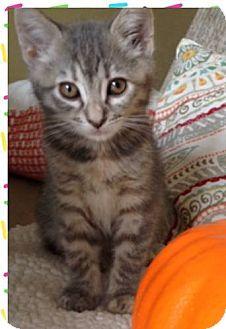 Domestic Shorthair Kitten for adoption in Orange, California - MeowMeow