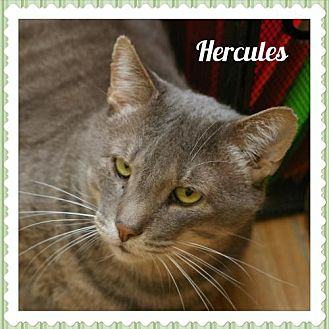 Domestic Shorthair Cat for adoption in Island Heights, New Jersey - Hercules