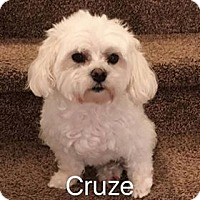 Adopt A Pet :: Cruze - Indianapolis, IN