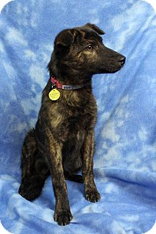 Shepherd (Unknown Type) Mix Dog for adoption in Westminster, Colorado - NIMI