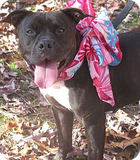 American Pit Bull Terrier Mix Dog for adoption in Voorhees, New Jersey - Fia