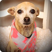 Chihuahua Dog for adoption in Carrollton, Texas - Sparkel