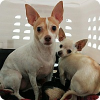 Chihuahua Mix Dog for adoption in Fruit Heights, Utah - Sadie and Boris
