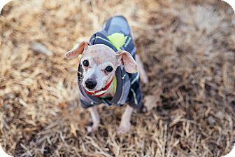 Chihuahua Mix Dog for adoption in Manhattan, Kansas - Marvin