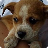 Adopt A Pet :: Dachshund Mix puppies - Surprise, AZ