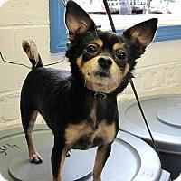 Adopt A Pet :: Posha - East Hartford, CT