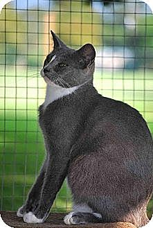 Domestic Shorthair Cat for adoption in Thibodaux, Louisiana - Arnie FE1-8284