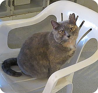 Domestic Shorthair Cat for adoption in Geneseo, Illinois - Angie